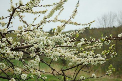 Pear trees have white blossoms.  When the wind blows, they flutter in the most flowery clouds.